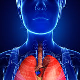 Female throat anatomy Royalty Free Stock Images
