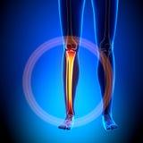 Female Tibia / Fibula - Anatomy Bones. Female Anatomy Medical Imaging by @ decade3d Stock Photo