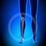Female Tibia / Fibula - Anatomy Bones Royalty Free Stock Image