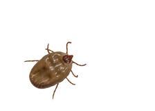 Female tick. Isolated on white background Stock Photos