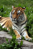 Female Tiger. Siberian or Amur Tiger laying in the grass Royalty Free Stock Photography