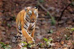 Female tiger in Bandhavgarh National Park in India royalty free stock photography