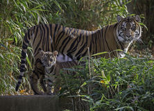Female Tiger and cub Royalty Free Stock Photography