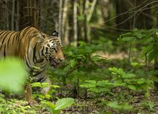 Female Tiger emerging out of bamboo Groove at Tadoba Tiger reserve Maharashtra,India. Asia royalty free stock photos
