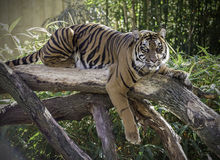 Female Tiger on log Stock Photography