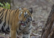 Female Tiger looking around in search of a prey Royalty Free Stock Image