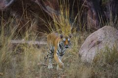 A female tiger portrait in a morning light and shadow in a nature green amidst in a jungle of kanha national park, india royalty free stock photo