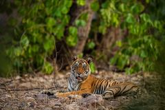 A female tiger resting in evening with beautiful surrounding just before going to start territory marking at Ranthambore stock images