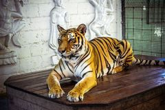 Female tiger sitting on the table and posing for Royalty Free Stock Photos