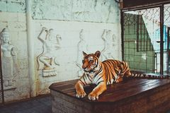 Female tiger sitting on the table and posing for Stock Photography