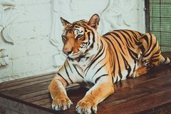 Female tiger sitting on the table and posing for Stock Image