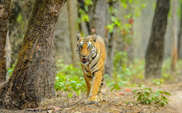Eye contact with Bengal tigress  Royalty Free Stock Photos