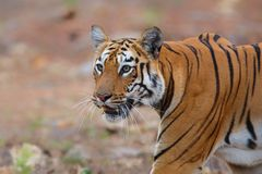 Female tiger in Tadoba NP in India royalty free stock image