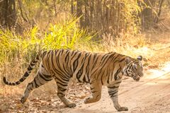 Free Female Tiger With Ferocius Look At Bandhavgarh National Park Crossing Its Territory Stock Photography - 183559612
