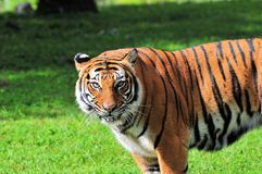 Female tiger in zoo Stock Images
