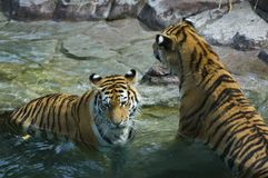 Female Tigers (Panthera tigris altaica) Rest in Pool Royalty Free Stock Image