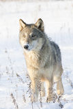 Female timber wolf portrait. In snow Stock Photo