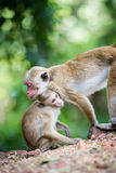 Female toque macaque monkey with babies in natural habitat Stock Images