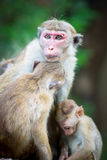 Female toque macaque monkey with babies in natural habitat  Stock Photo