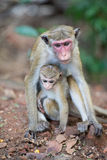 Female toque macaque monkey with baby in natural habitat Stock Photo