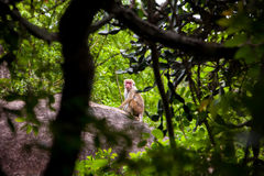 Female Toque macaque monkey Royalty Free Stock Photo