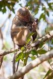 Female Toque monkey with baby in natural habitats. Sri Lanka wildlife Stock Photography