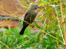 Female tordus. Brown birdie Royalty Free Stock Photography