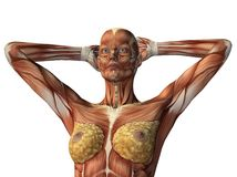 Female torso showing muscles. Isolated on white stock illustration