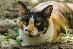 Female Tortoiseshell and white cat lying on the ground. With relaxing position stock images