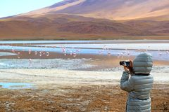 Female Tourist Taking Pictures of a Big Group of Pink Flamingo at Laguna Hedionda, The Saline Lake in Andean Altiplano, Bolivia. Female Tourist Taking Pictures royalty free stock images