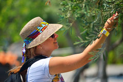 Female tourist touching olive tree branch. Female tourist admiring olive tree branch stock photo