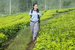 Female tourist walking in the tea plantation. Portrait of female tourist is carrying a backpack while walking in the tea plantation royalty free stock images