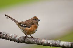 Female Towhee bird Stock Photo
