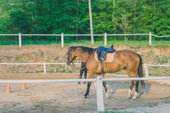 The female trainer is training the young horse for the tame in r royalty free stock image