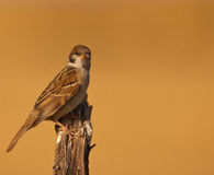 Female Tree Sparrow Stock Photography