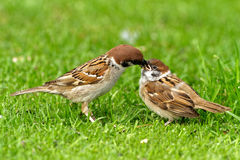 Female tree sparrow is feeding his chick. Poland in July.Tree sparows sitting on the ground.Female is feeding his chick Royalty Free Stock Images