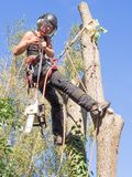 Using a chainsaw up a tree. Female tree surgeon getting ready to use a chainsaw while roped to a tree royalty free stock photography