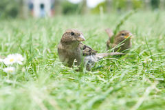 Female true sparrow Royalty Free Stock Photography