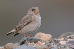 Female Trumpeter Finch - Bucanetes githagineus. Sitting on the rock, beautiful pink and grey song bird living in deserts and semi-deserts of the north Africa Stock Photos