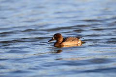 Female Tufted duck (Aythya fuligula) in japan in a lake. Stock Photo