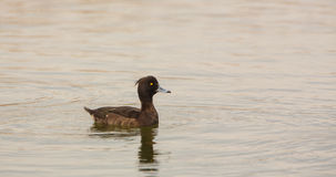 Female Tufted Duck Royalty Free Stock Photos
