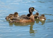 Female tufted duck with cubs on the lake. Czech Republic - Lednice stock photo