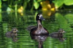 A female tufted duck with ducklings on the lake Royalty Free Stock Image