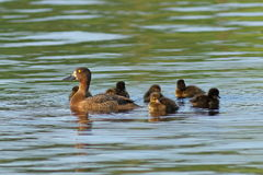 A female of tufted duck with ducklings on the lake in Siberia Stock Photography