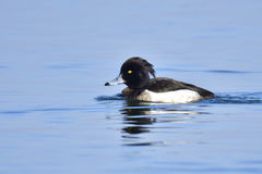 Female Tufted duck. Male Tufted duck in a lake in winter Stock Photo