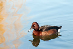 Female Tufted duck. Female Tufted duck swimming on a lake Royalty Free Stock Image