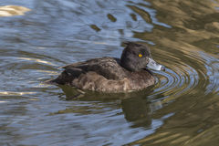 Female tufted duck Royalty Free Stock Photo