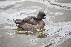 Female tufted duck Royalty Free Stock Images