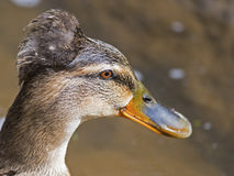 Female Tufted Mallard Royalty Free Stock Photo