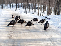 Female turkey group crossing Royalty Free Stock Photos